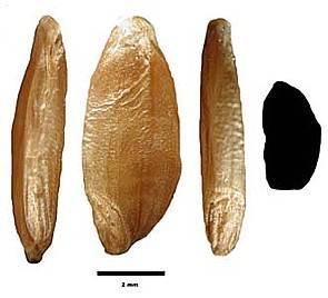 f Triticum monococcum