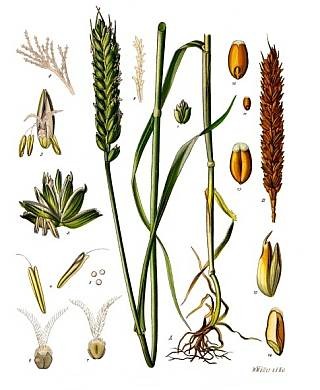 Triticum aestivum ssp vulgare