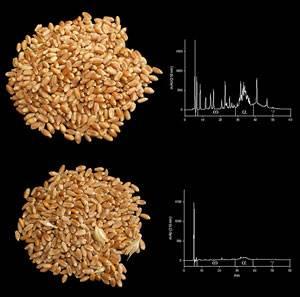 Muestras de trigo: superior con gluten e inferior sin gluten