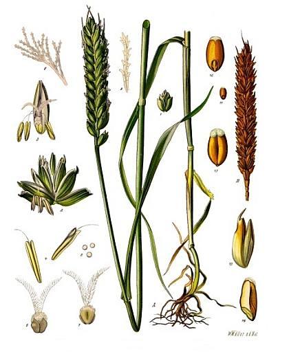 Triticum aestivum ssp vulgare L.